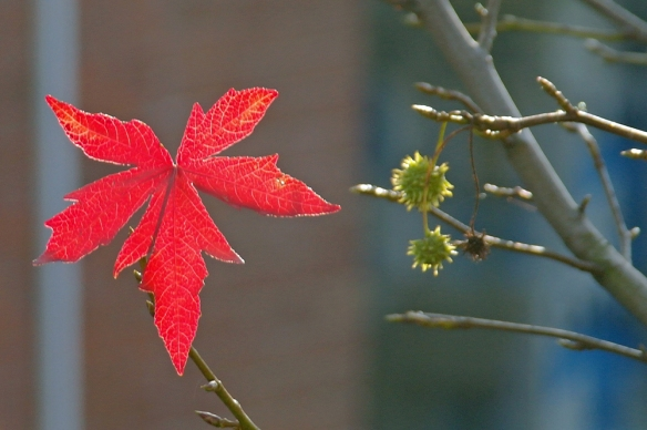 Vlammend rood blad