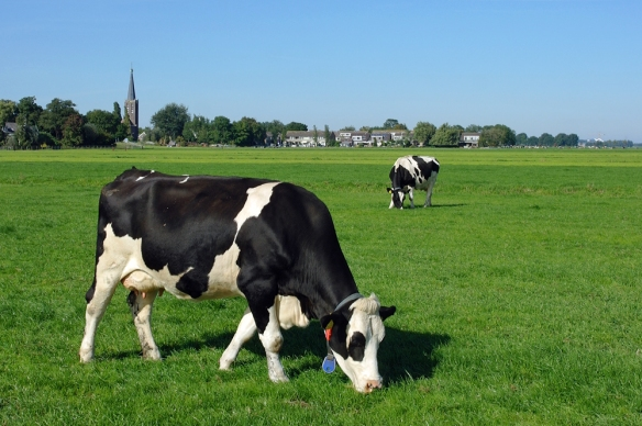 Koe in weiland bij Zuidbuurt