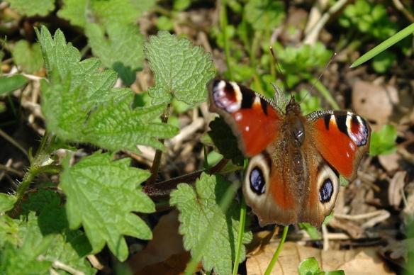 Sorghvliet vlinder