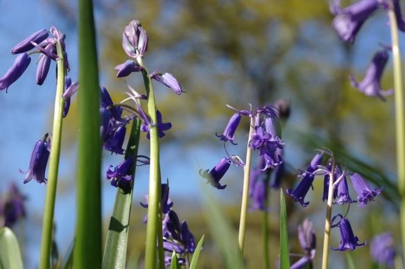 Wilde hyacint Sorghvliet (4)