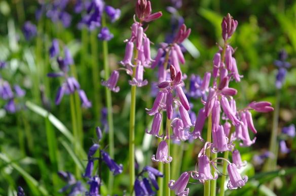 Wilde hyacint Sorghvliet