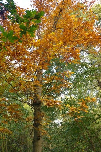 Sorghvliet herfst eikenboom