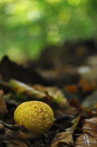 Sorghvliet herfst gele aardappelboleet