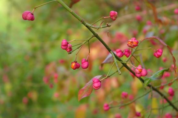 Sorghvliet herfst kardinaalsmuts