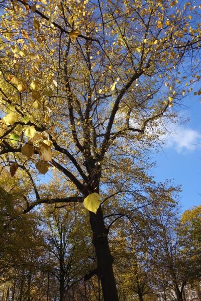 Gouden lindes op Lange Voorhout
