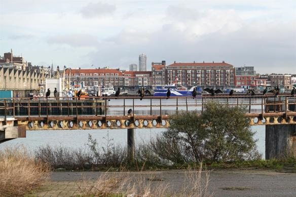 Aalscholvers op voormalig Norfolk terrein Scheveningen