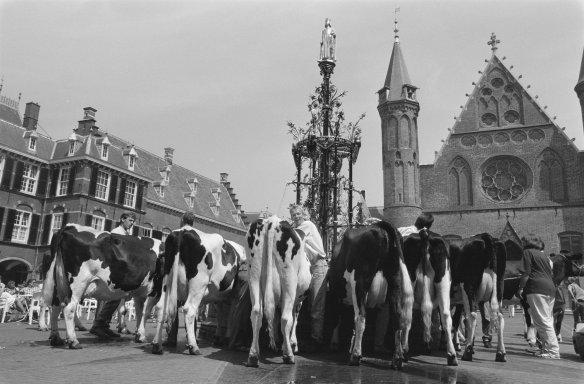 Koeien op het Binnenhof